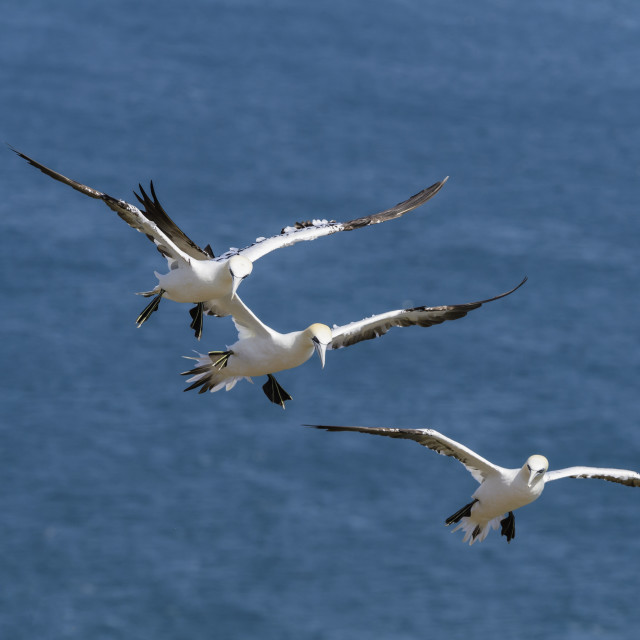 """Three Gannets in flight."" stock image"