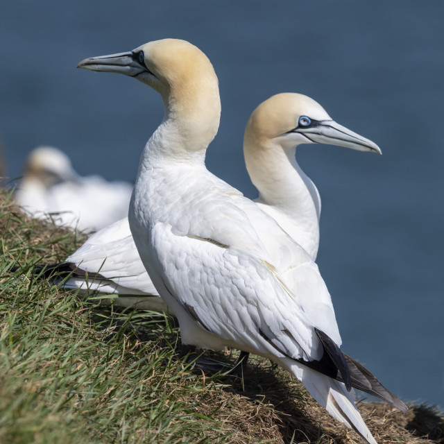 """Mating Gannets"" stock image"