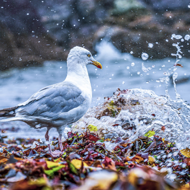 """""""Seagull from Cawsand Bay, Cornwall UK."""" stock image"""