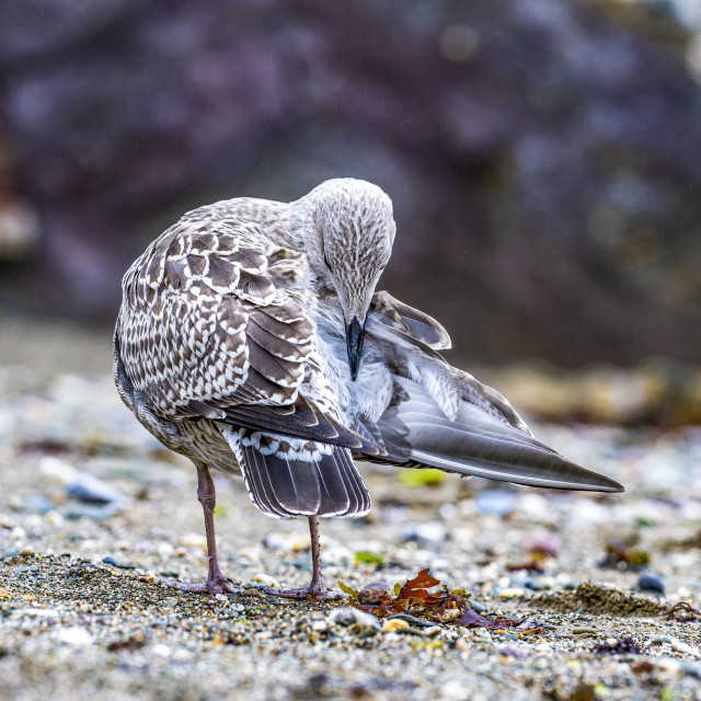 """""""Seagull from Cawsand Beach, Cornwall UK."""" stock image"""