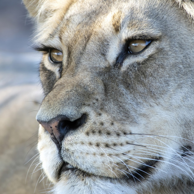 """""""Lioness Whiskers"""" stock image"""