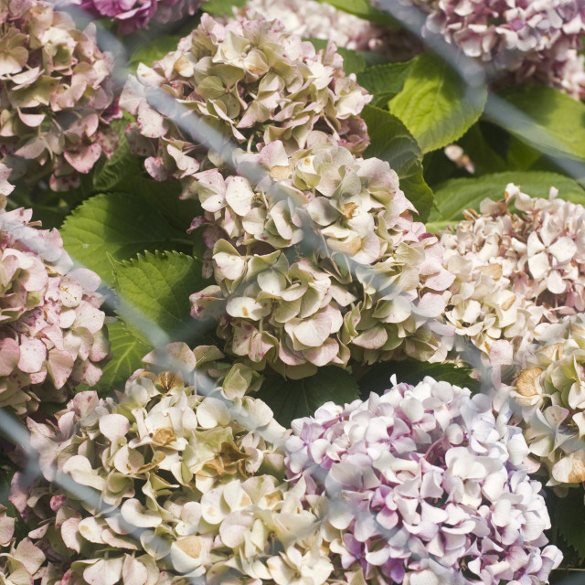 """""""Withered hydrangeas"""" stock image"""