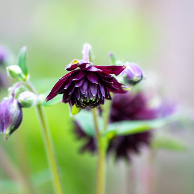 """Columbine Aquilegia Vulgaris, Black Barlow, flower commonly know"" stock image"