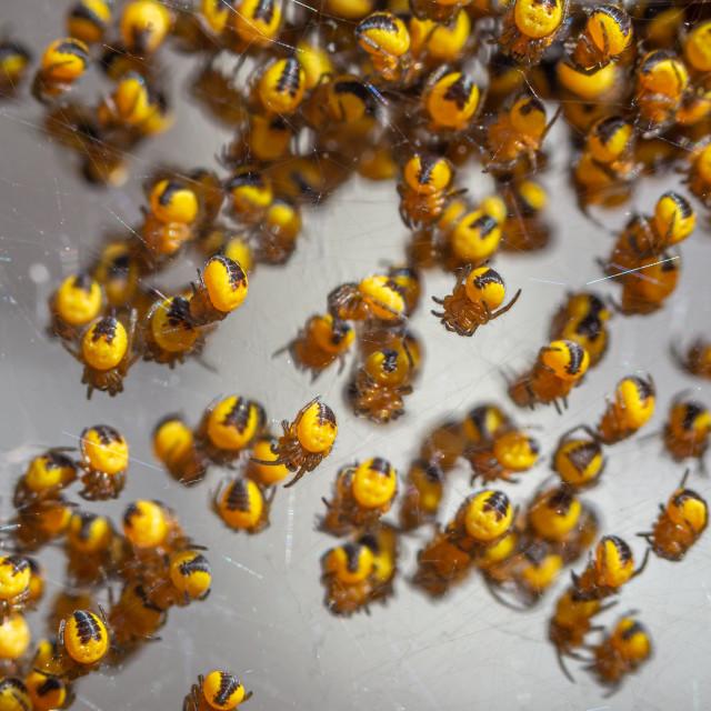 """Hatched baby Araneus diadematus garden spiders"" stock image"