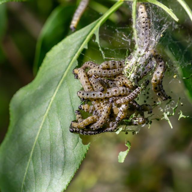 """Ermine moth caterpillars feeding on green leaves"" stock image"