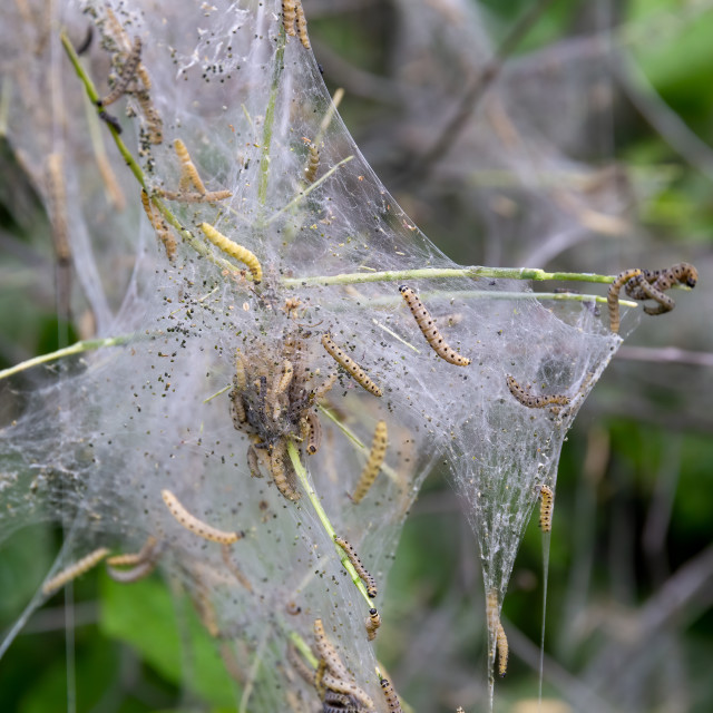 """""""Web of ermine moth caterpillars hanging from the branches of a t"""" stock image"""