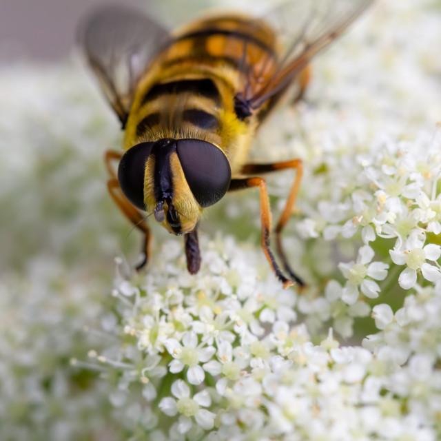 """Close up of a honey bee, Apis mellifera."" stock image"