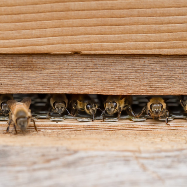 """""""Bees on a wooden beehive in a UK garden"""" stock image"""