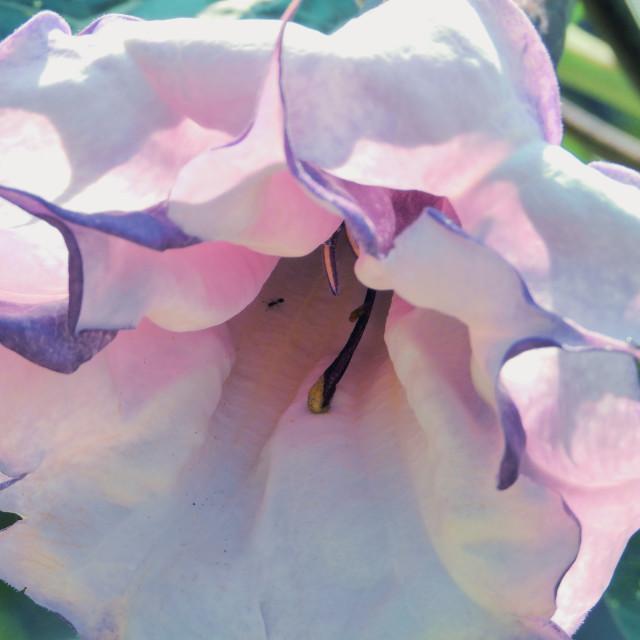 """Devil's Trumpet Flower"" stock image"