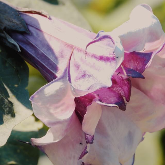 """Devil's Trumpet flower (side view)"" stock image"