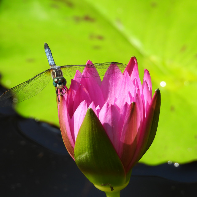 """""""Dragonfly on Pink Lotus"""" stock image"""