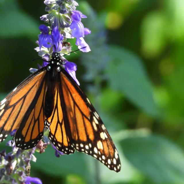 """""""Monarch Butterfly on Purple Flower"""" stock image"""