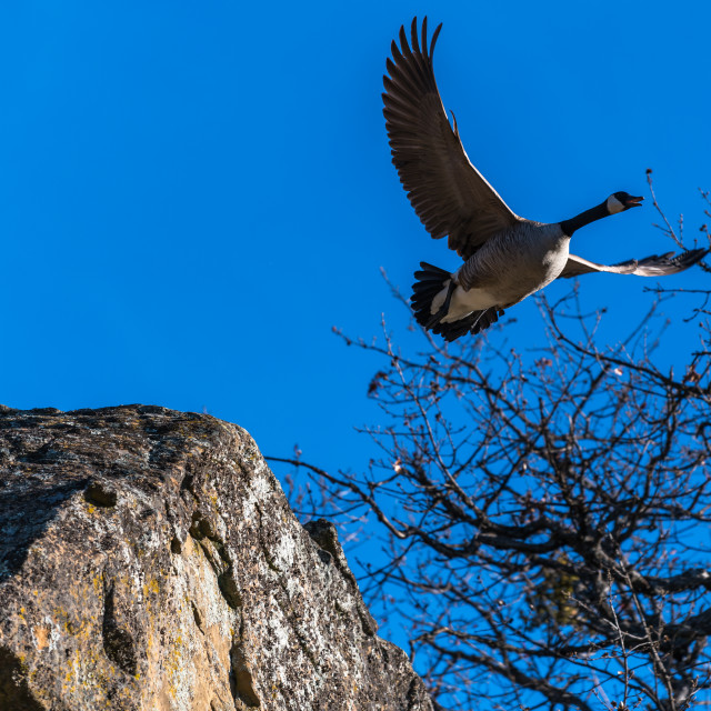"""Canada geese in flight goose flying taking off"" stock image"