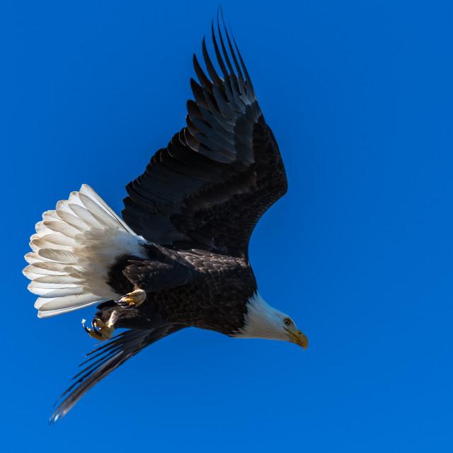 """""""Bald eagle in flight eagles flying"""" stock image"""