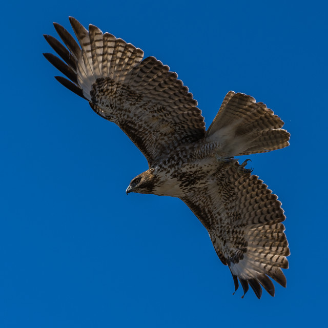 """Red-tailed hawk in flight hawks flying"" stock image"
