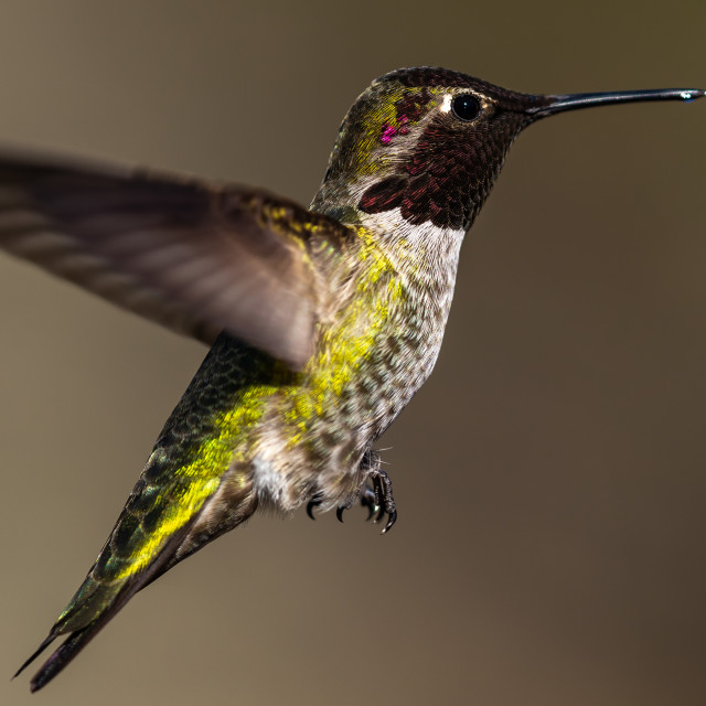 """Hummingbird flying, flapping its wings in flight"" stock image"