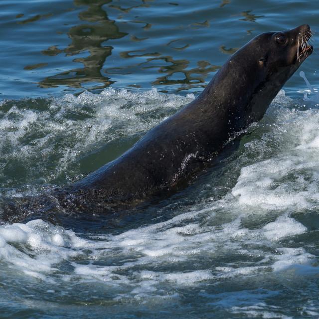 """Steller Sea Lion swimming"" stock image"