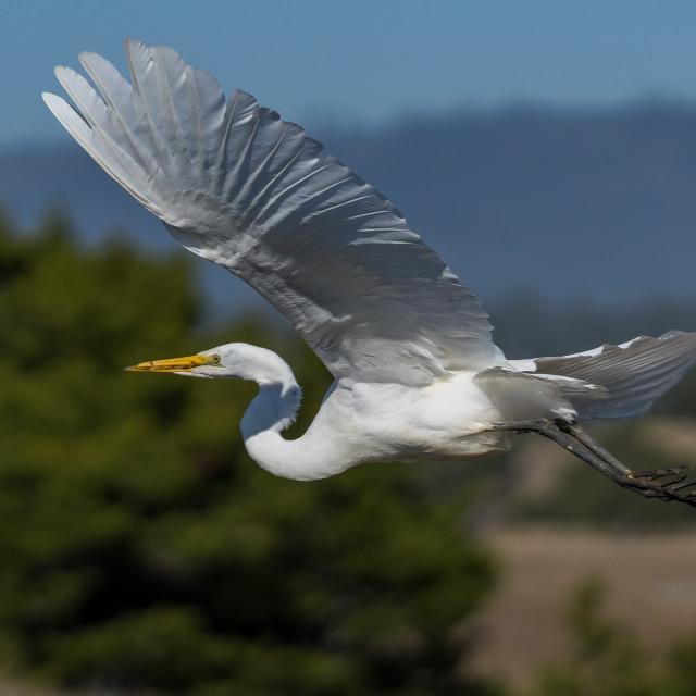 """Great Egret in flight Egrets flying"" stock image"