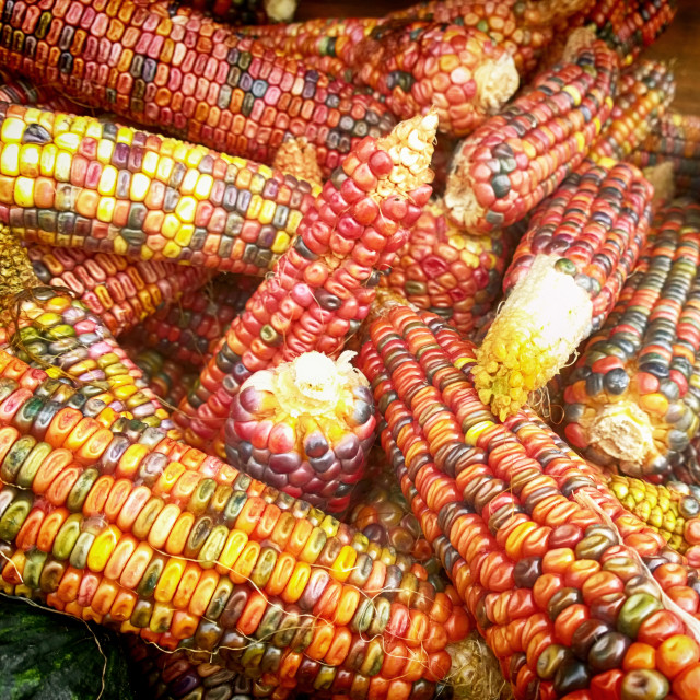 """""""Autumnal view of cobs of flint corn"""" stock image"""