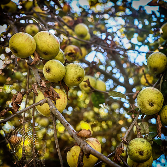 """""""Golden apples on the tree"""" stock image"""