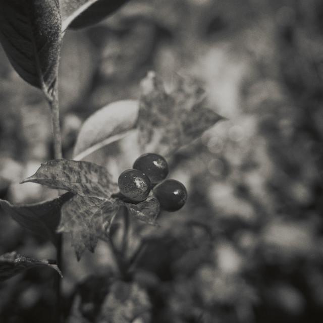 """Berry Bush (Black And White)"" stock image"