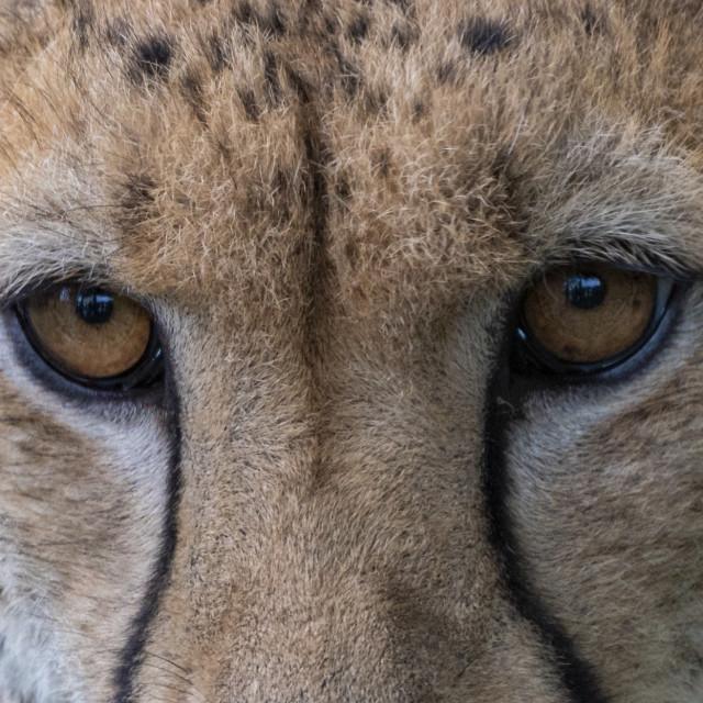 """""""Cheetah Eyes"""" stock image"""