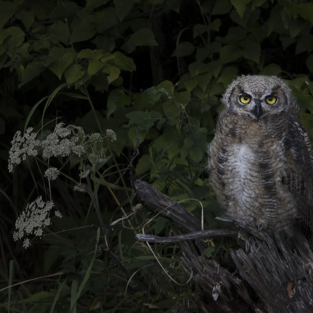 """""""Young Great Horned Owl"""" stock image"""