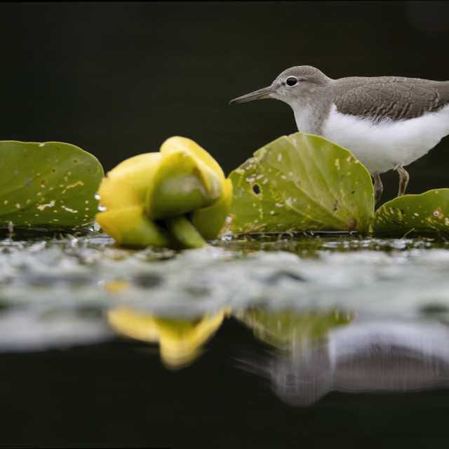 """""""Spotted sandpiper"""" stock image"""