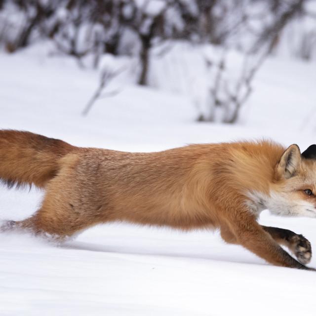 """Red fox full speed"" stock image"