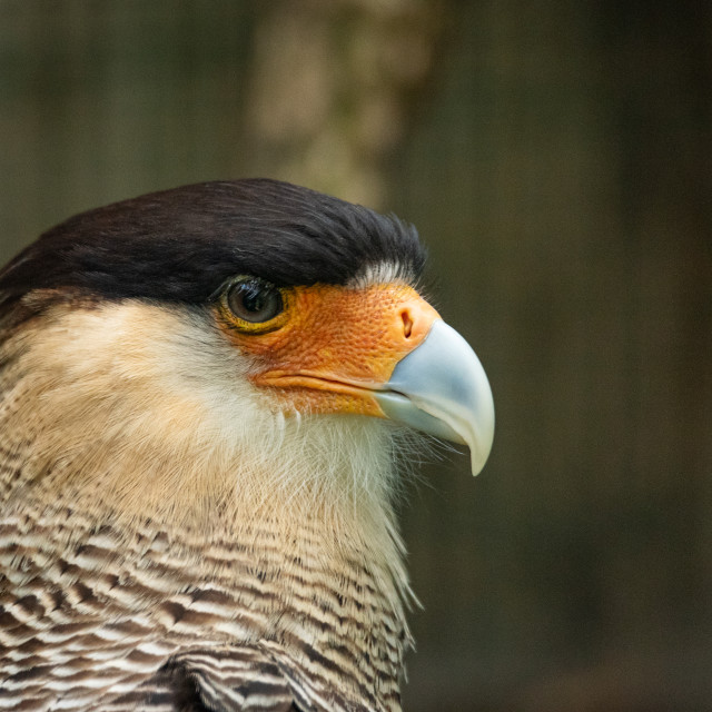 """Portrait of a bird of prey with dark head and light beak"" stock image"