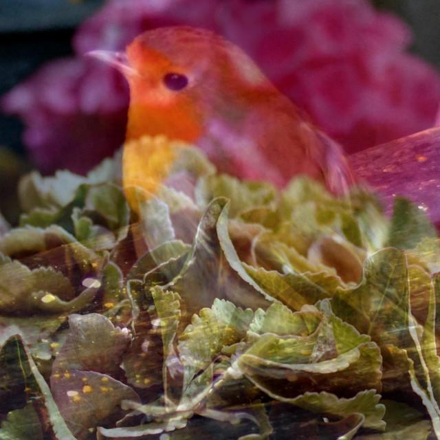 """Hydranger Robin"" stock image"