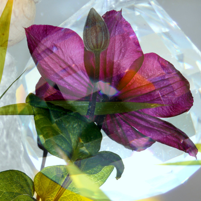 """""""Crystal-Clematis"""" stock image"""