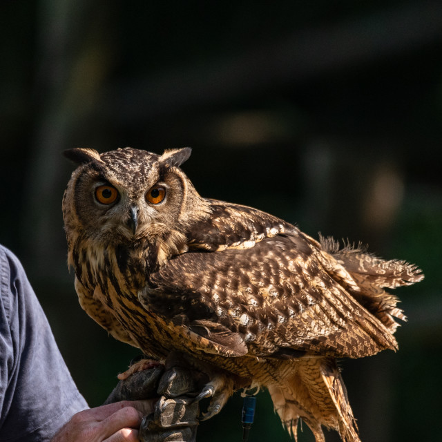 """Eurasian eagle-owl resting on the glove of a falconer"" stock image"