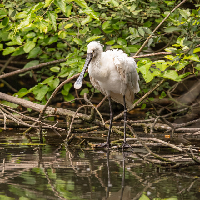 """Eurasian common spoonbill on a tree branch near water of pond"" stock image"