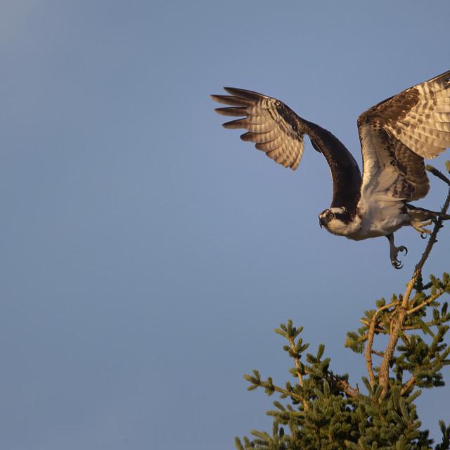 """""""Osprey hunting a lake in Alaska"""" stock image"""