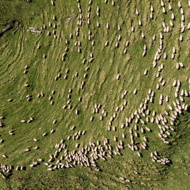 """Aerial sheep"" stock image"