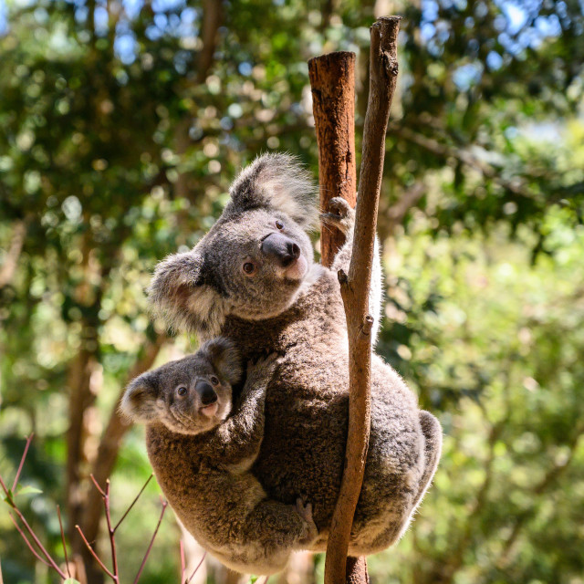 """Koala-ty time"" stock image"