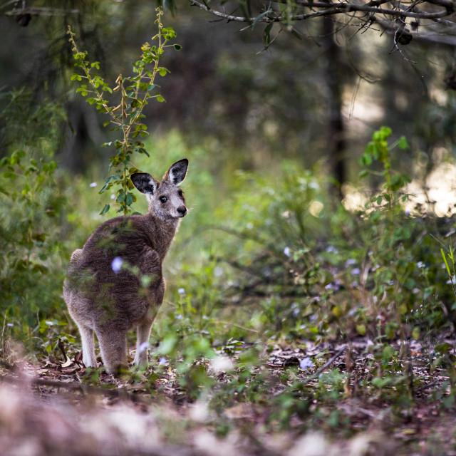 """Kangaroo Way 0291"" stock image"