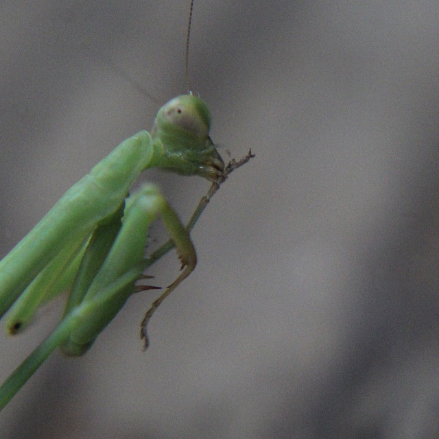 """even a praying mantis"" stock image"