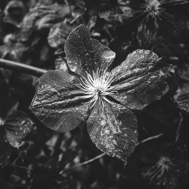 """""""Deep Black And White Flower II"""" stock image"""