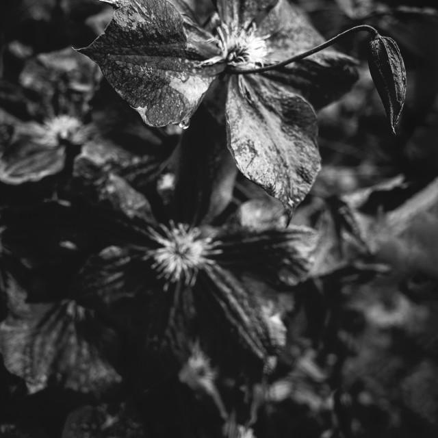 """Deep Black And White Flower I"" stock image"