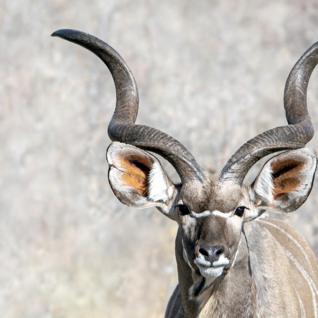 """""""Kudu antelope"""" stock image"""