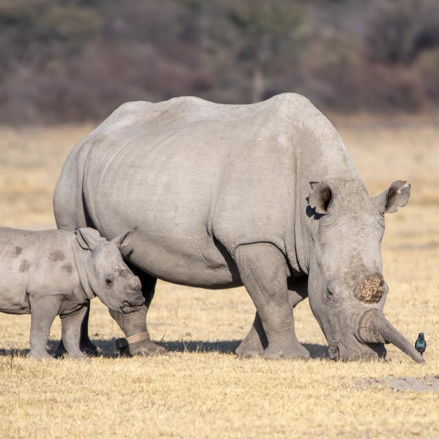 """""""White rhino and calf"""" stock image"""