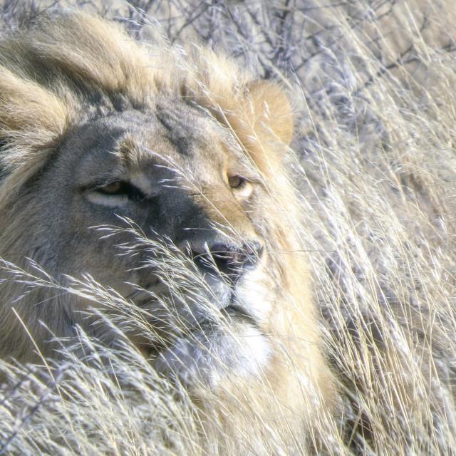 """Camouflaged lion"" stock image"