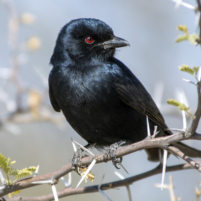 """""""Fork Tailed Drongo"""" stock image"""