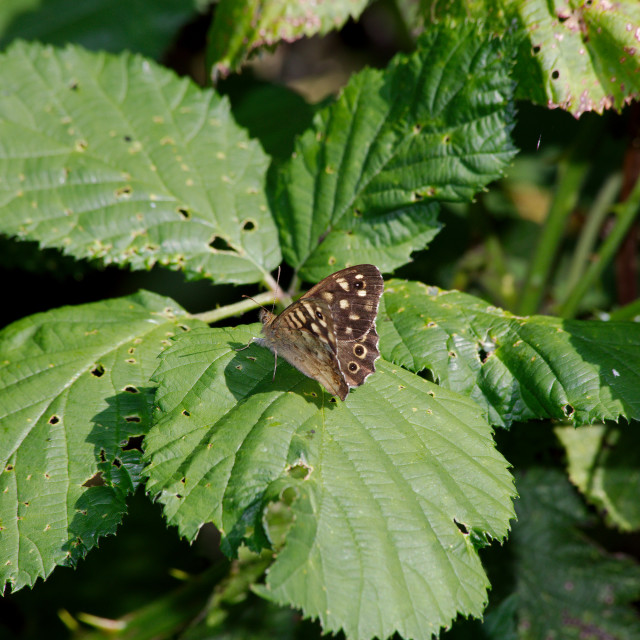 """Speckled Wood - Pararge aegeria"" stock image"