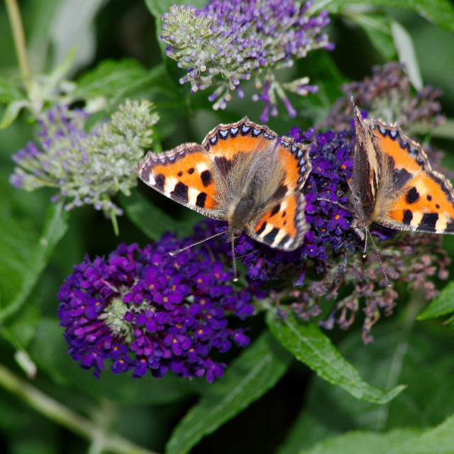 """Two Small Tortoiseshell butterflies"" stock image"