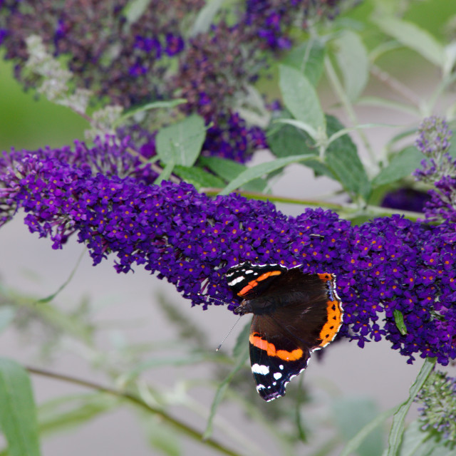 """Red Admiral Butterfly on a Buddleja"" stock image"