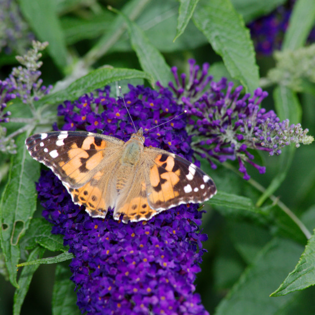 """Painted Lady Butterfly"" stock image"
