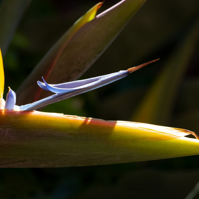 """Strelitzia, inflorescence with pistil"" stock image"